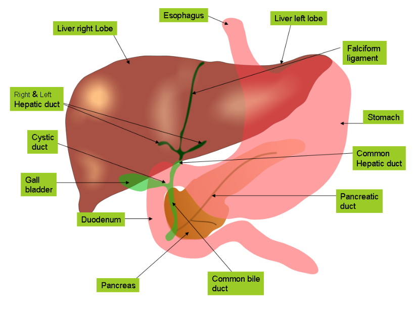 Functions Of The Liver And Gallbladder Find A Holistic Health